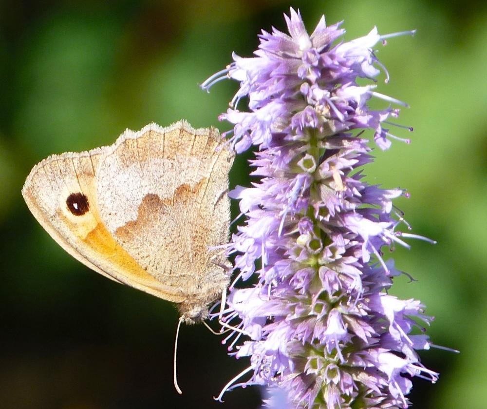 Meadow Brown Butterfly, Dorset 4