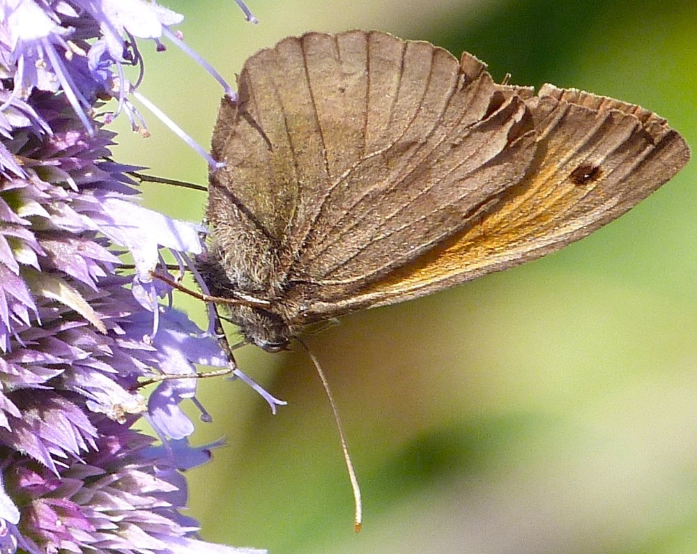 Meadow Brown Butterfly, Dorset 5