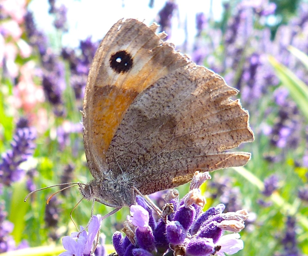 Meadow Brown Butterfly, Dorset 6