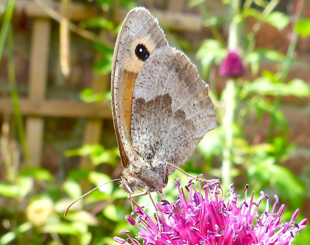Meadow Brown Butterfly, Dorset