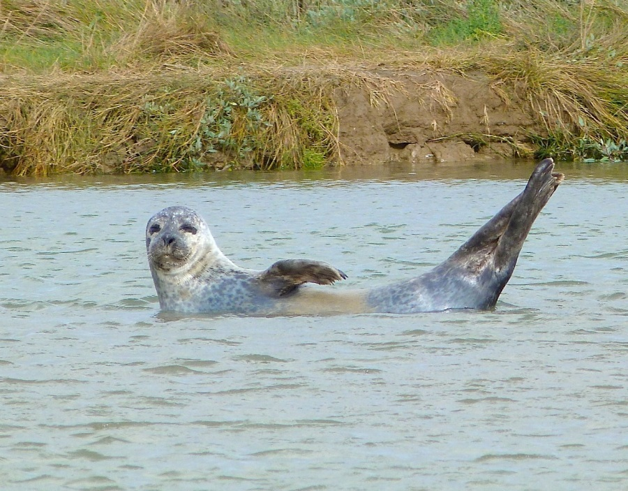 Common Seals, River Stour, Kent 12