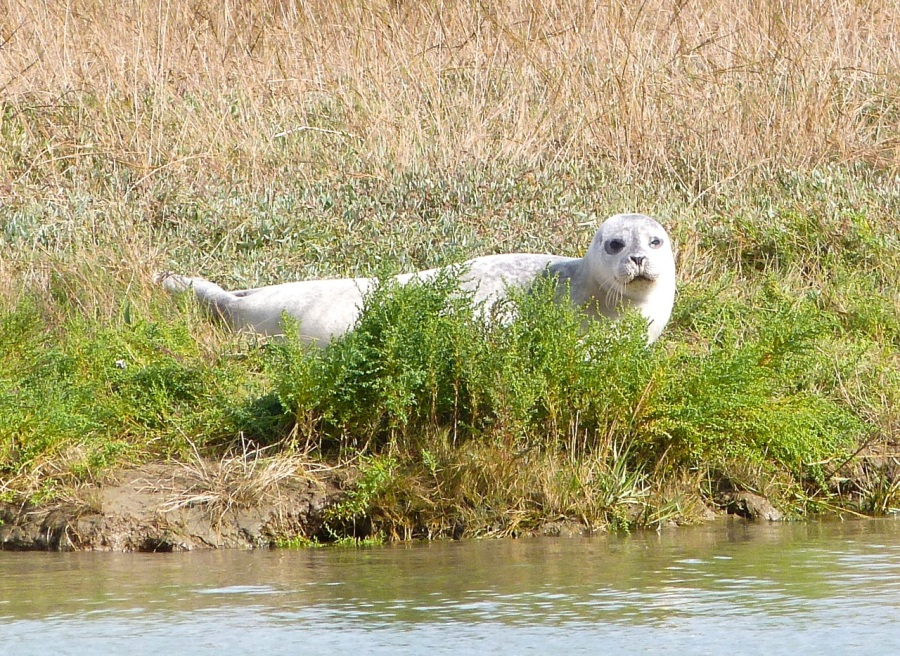 Common Seals, River Stour, Kent 4