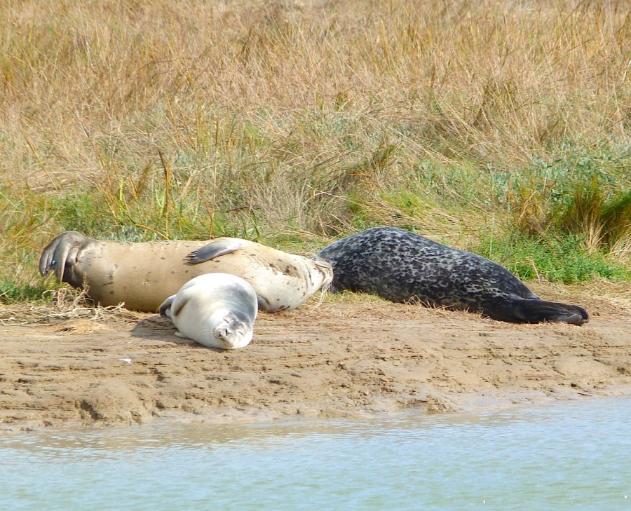 Common Seals, River Stour, Kent 5