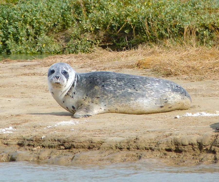Common Seals, River Stour, Kent 6