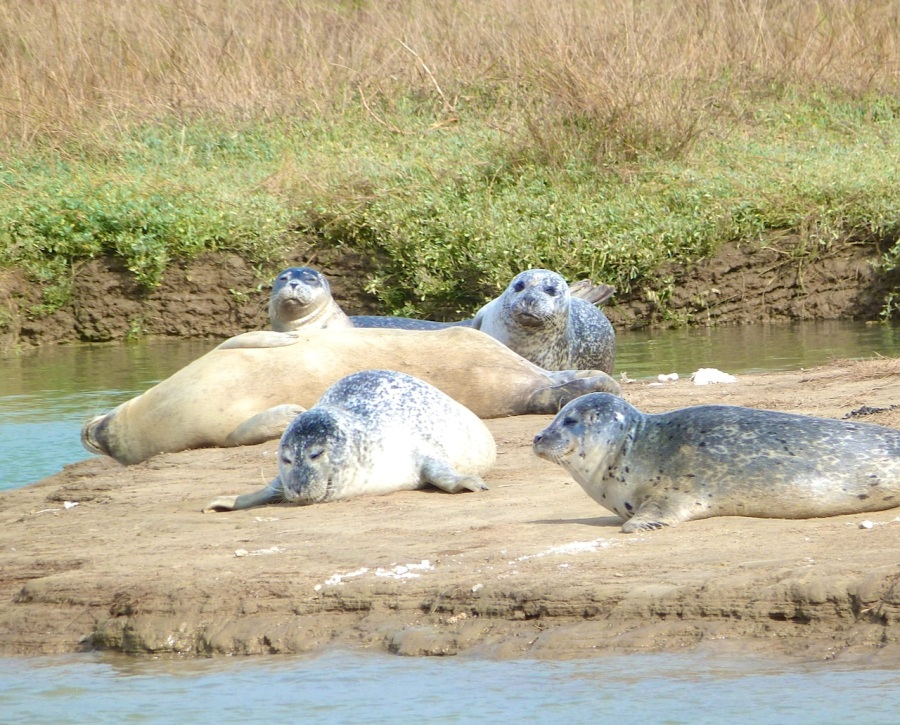 Common Seals, River Stour, Kent 7