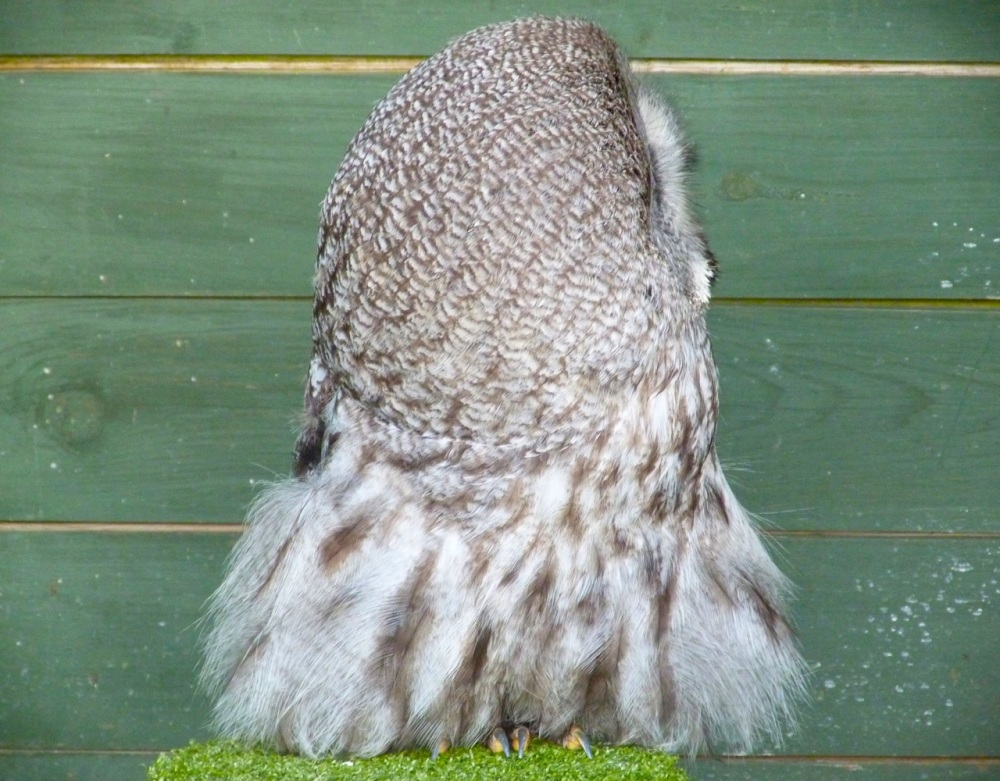 Great Grey Owl 5