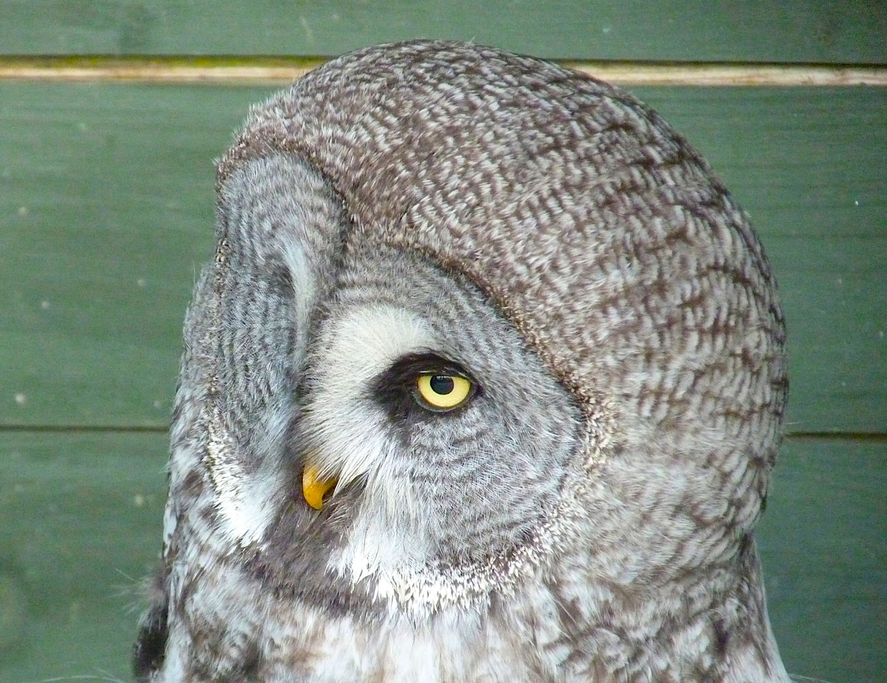 GREAT GREY OWL – ROLLING HARBOUR GALLERY