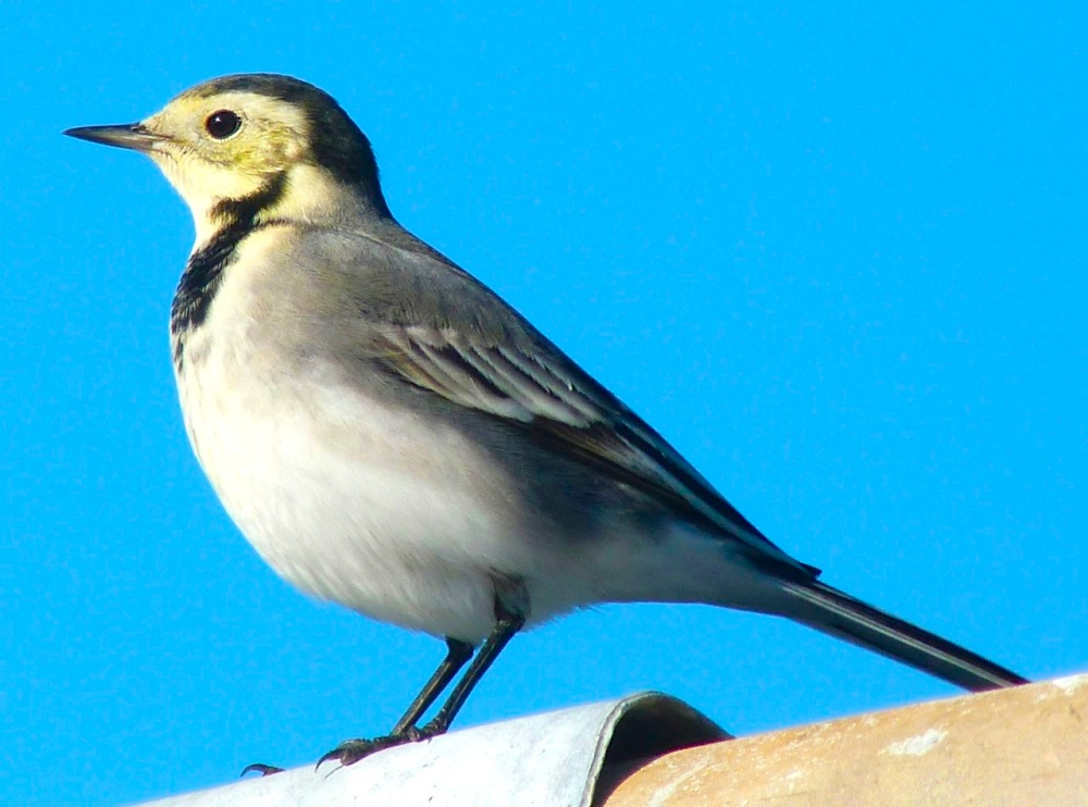 Pied Wagtail Dorset 10