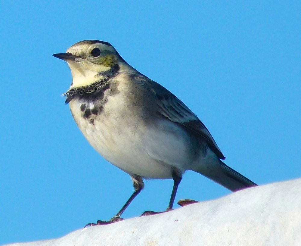 Pied Wagtail Dorset 4