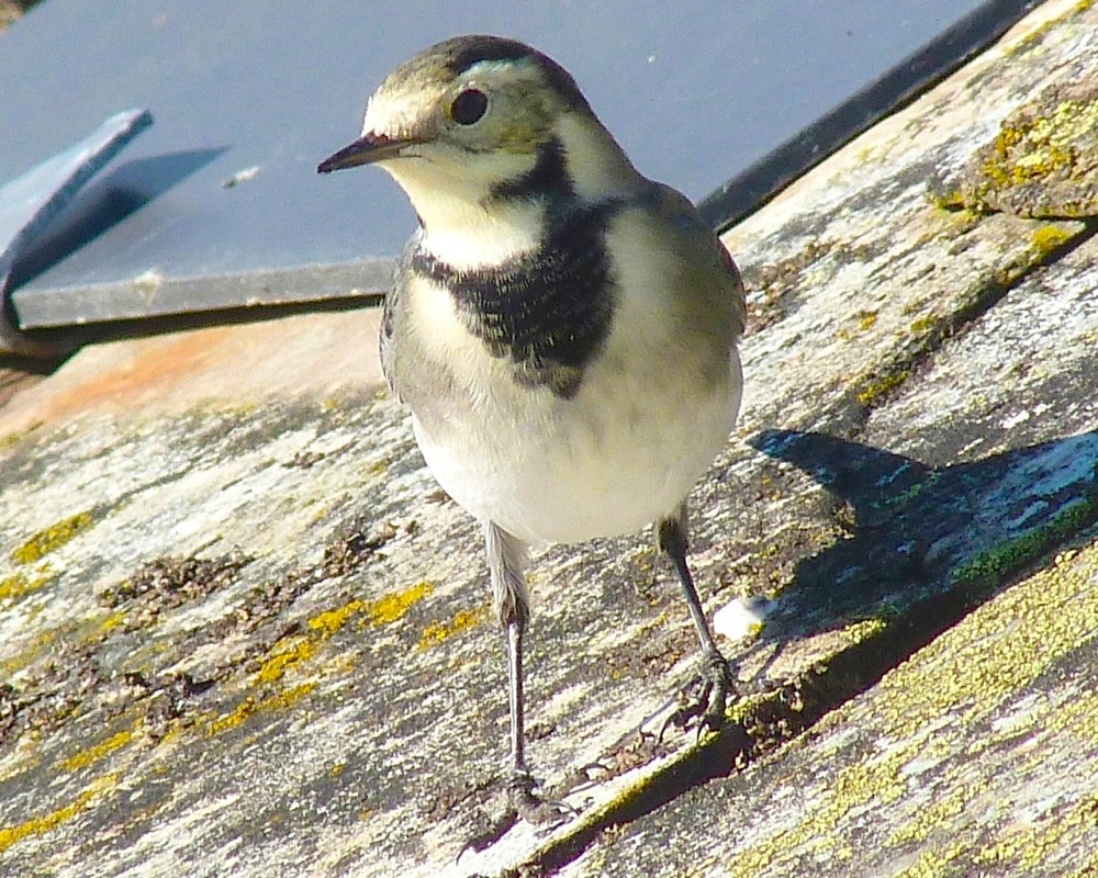 Pied Wagtail Dorset 6