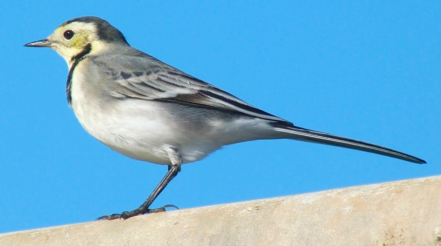 Pied Wagtail Dorset 7