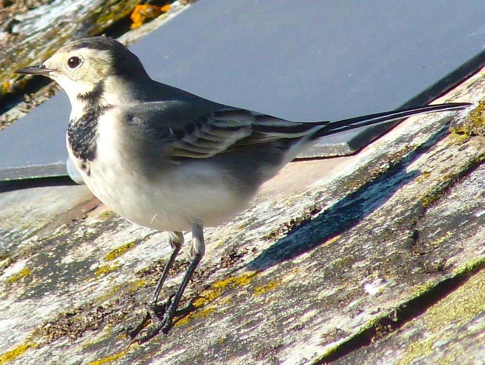 Pied Wagtail Dorset 8