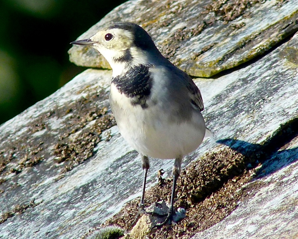 Pied Wagtail Dorset 9