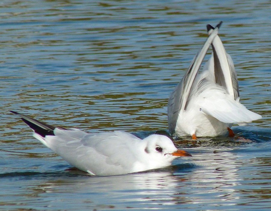 Black-headed Gull (Winter Plumage) WWT Barnes 10