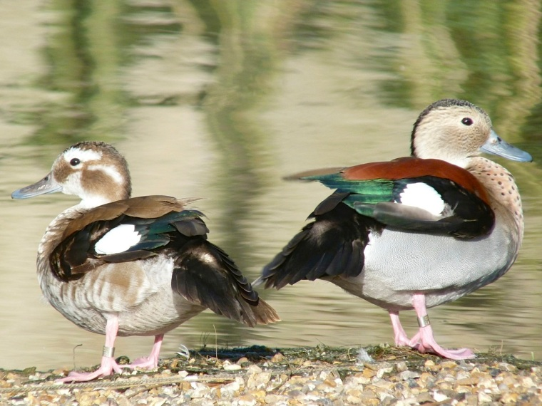 Ringed Teal pair WWT 11