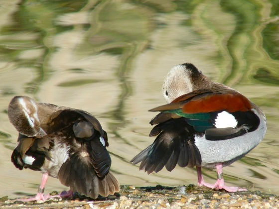 Ringed Teal pair WWT 2