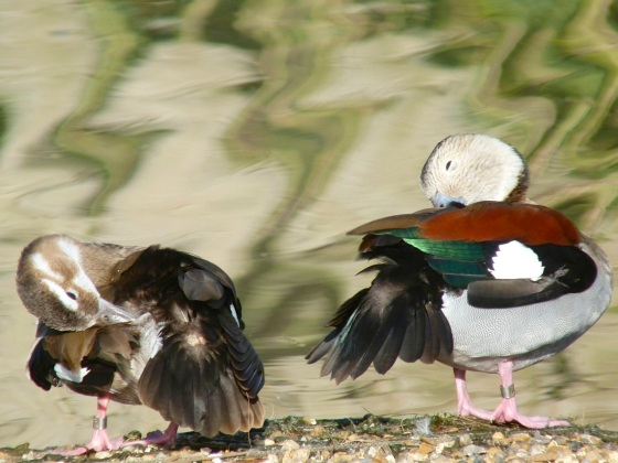 Ringed Teal pair WWT 3