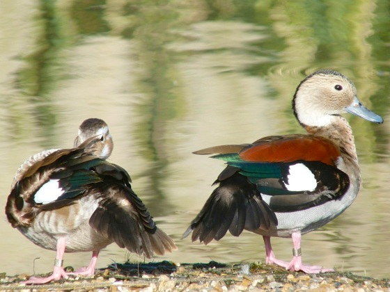 Ringed Teal pair WWT 6