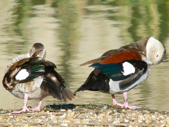 Ringed Teal pair WWT 7