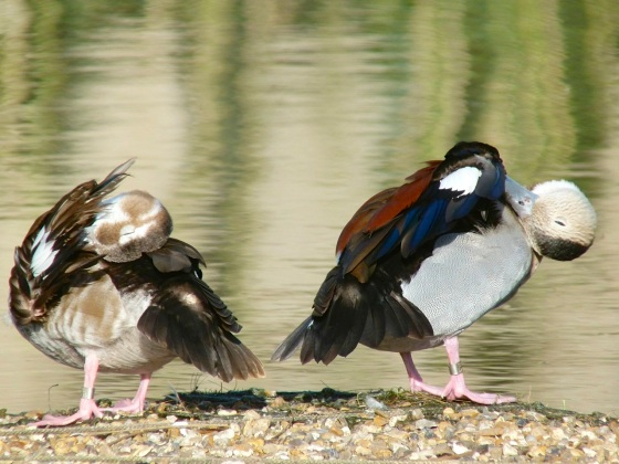 Ringed Teal pair WWT 9