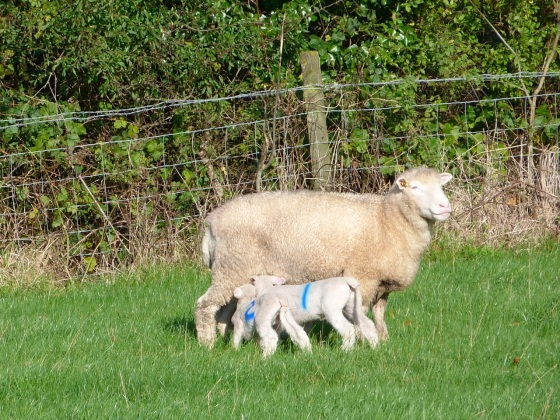 Totnell Lambs Nov 1