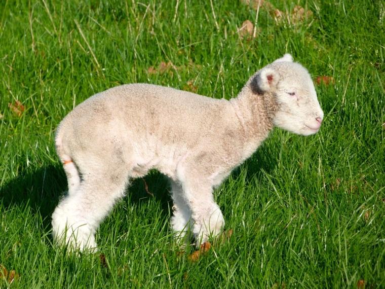 Totnell Lambs Nov 10