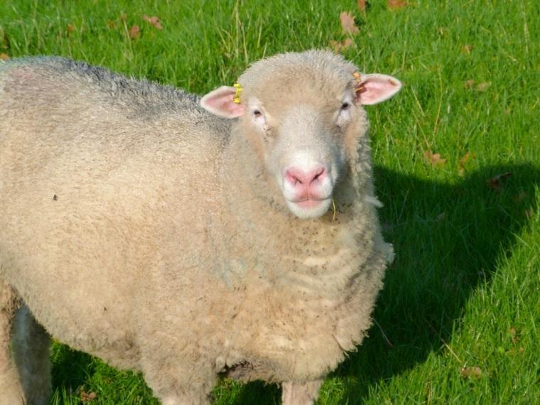 Totnell Lambs Nov 11