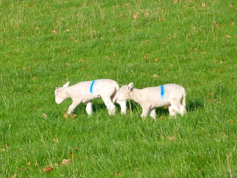 Totnell Lambs Nov 12