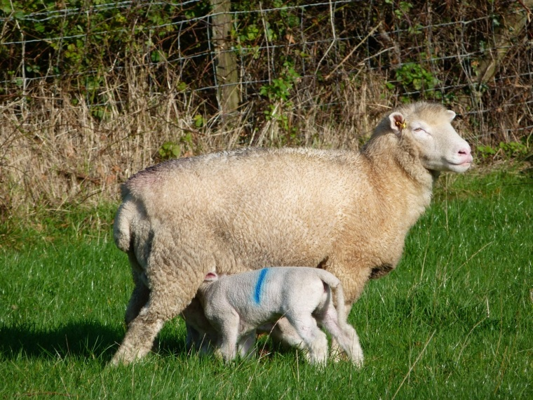 Totnell Lambs Nov 2