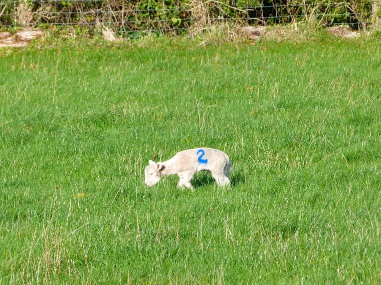 Totnell Lambs Nov 3