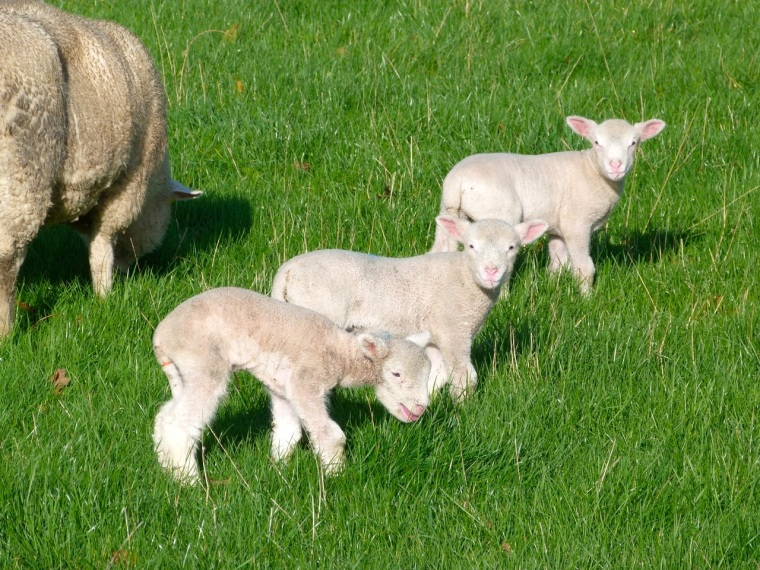Totnell Lambs Nov 4