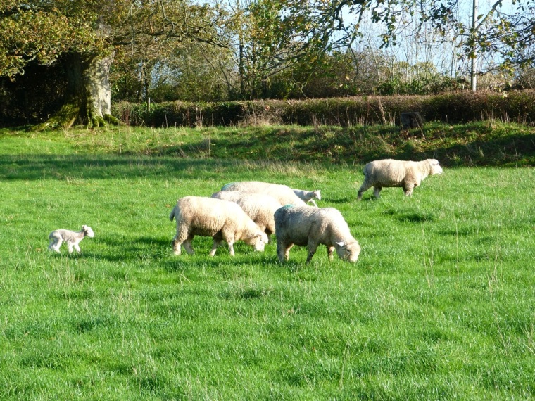 Totnell Lambs Nov 5