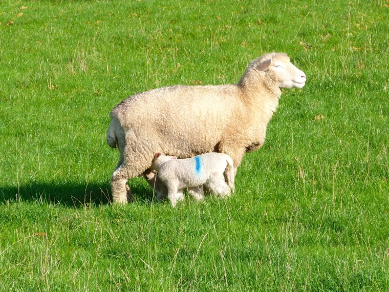Totnell Lambs Nov 7