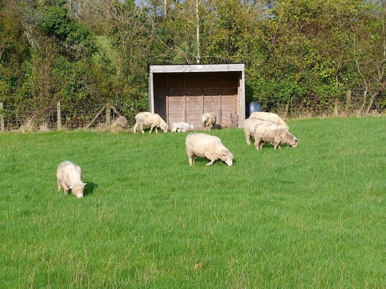 Totnell Lambs Nov 8