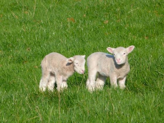 Totnell Lambs Nov 9