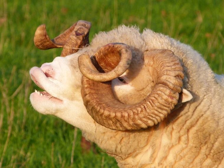 Totnell, Dorset - Ram - Flehmen response in Sheep