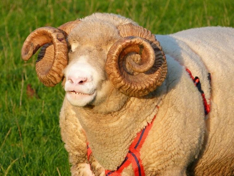 Totnell Ram 5