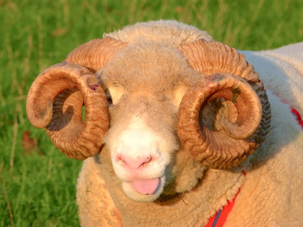 Flehmen Response in Sheep | ROLLING HARBOUR GALLERY