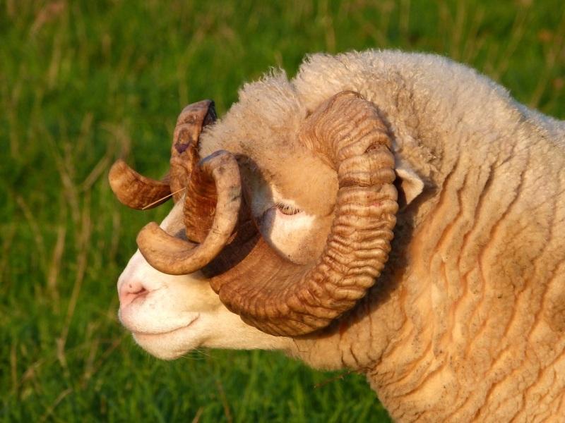 Totnell Ram 8