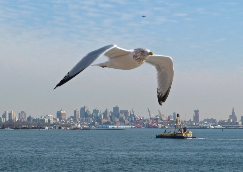 Herring Gull, NYC