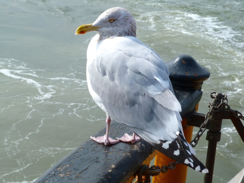 Herring Gull, Staten Island Ferry, NYC