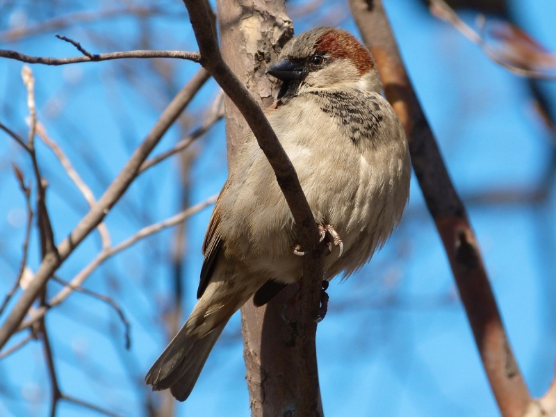House Sparrow, Central Park NYC