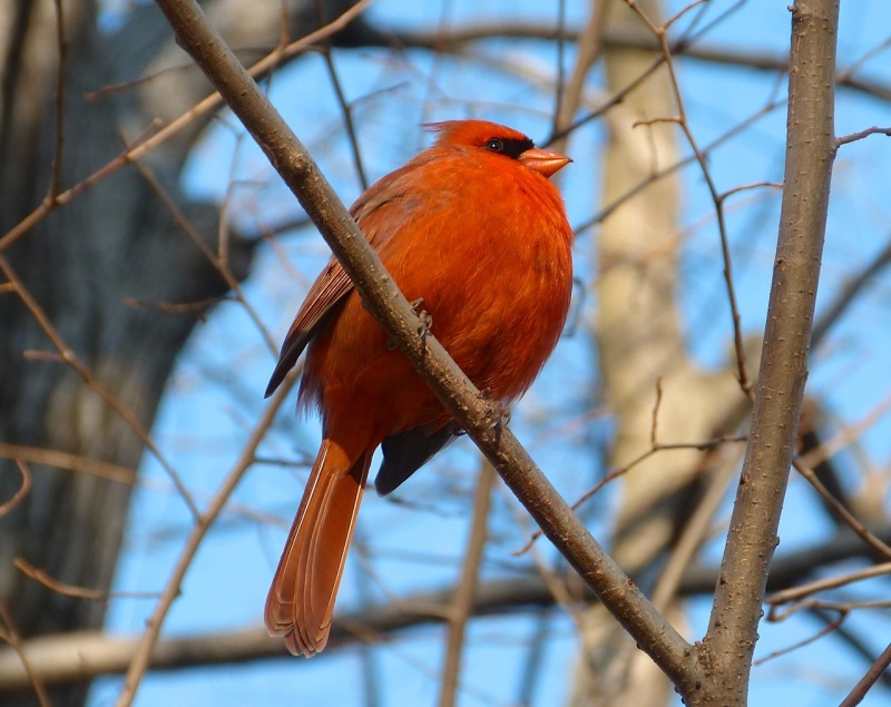 Northern Cardinal, Central Park NYC