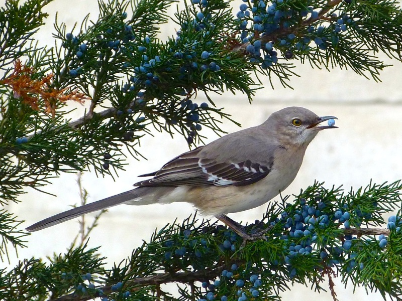 Northern Mockingbird, High Line, NYC