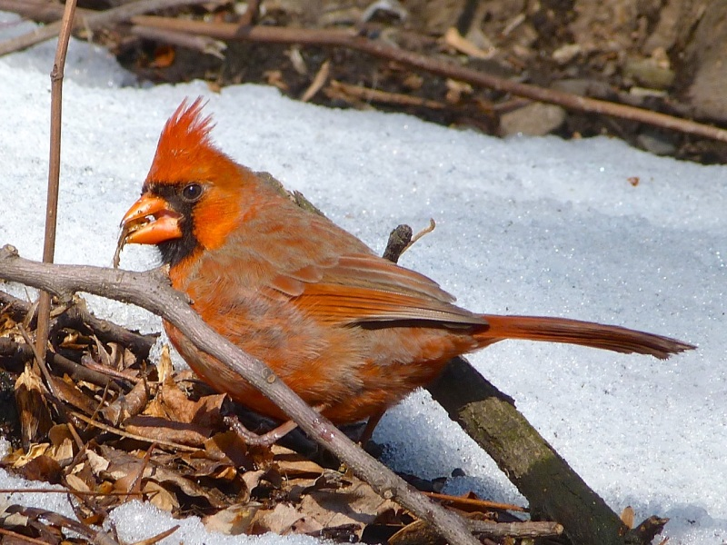 Northern Cardinal, Central Park, NYC