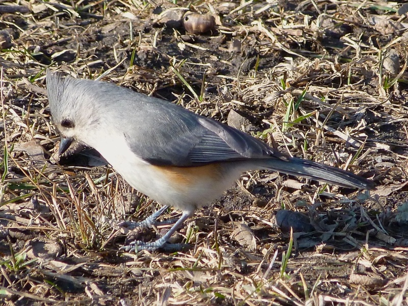 Tufted Titmouse (2) Central Park NYC