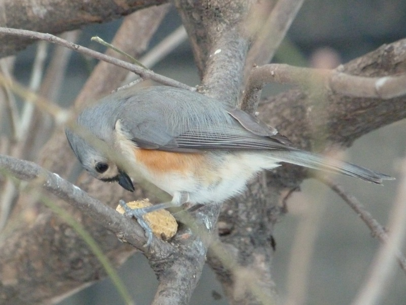 Tufted Titmouse, Central Park NYC