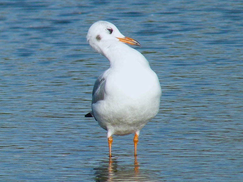 Black-headed Gull Preening, WWT Barnes01