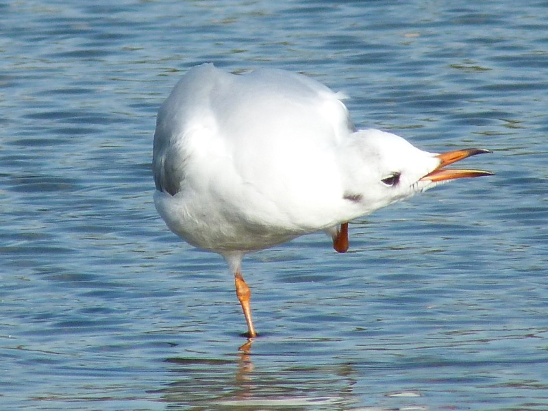 Black-headed Gull Preening, WWT Barnes03