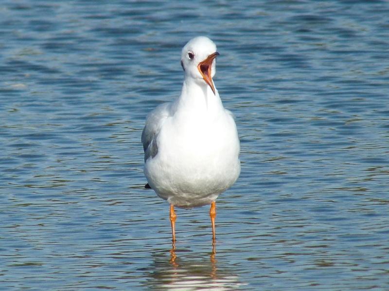 Black-headed Gull Preening, WWT Barnes05